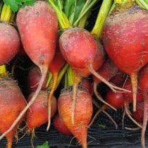 rote beete gesund